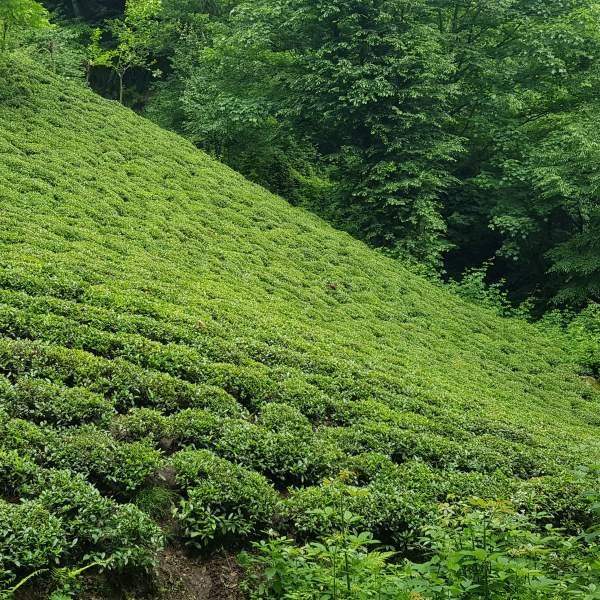 باغ چای لاهیجان