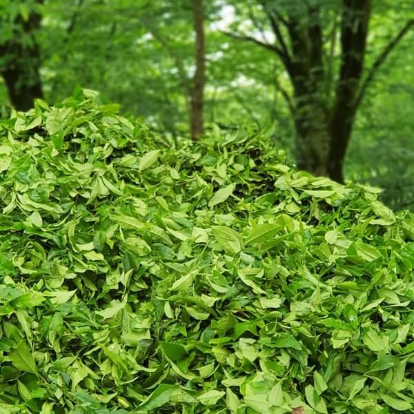 برگ سبز چای بهاره