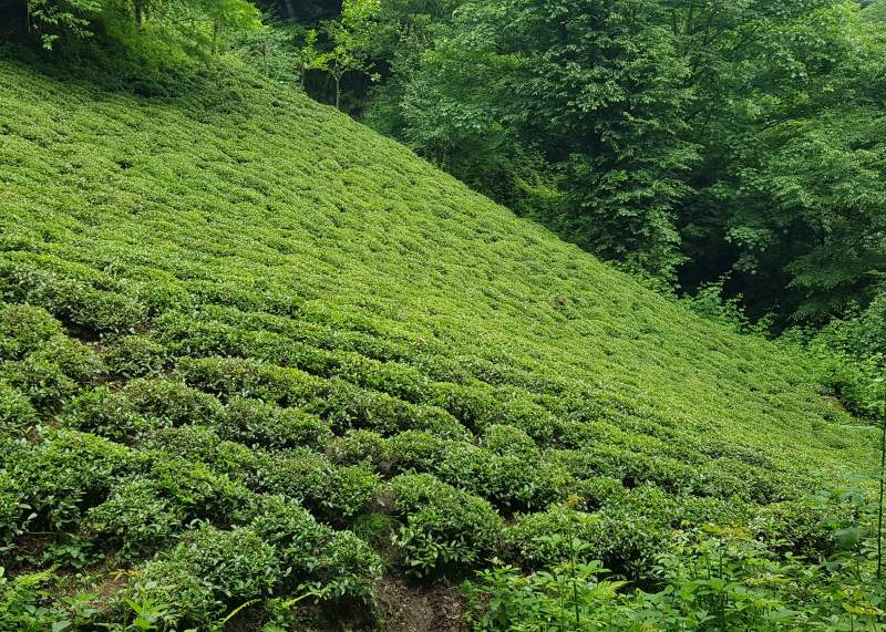 باغ چای آقا عبدالله