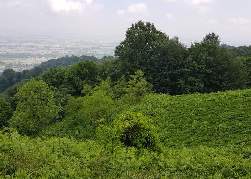 باغ چای بهاره