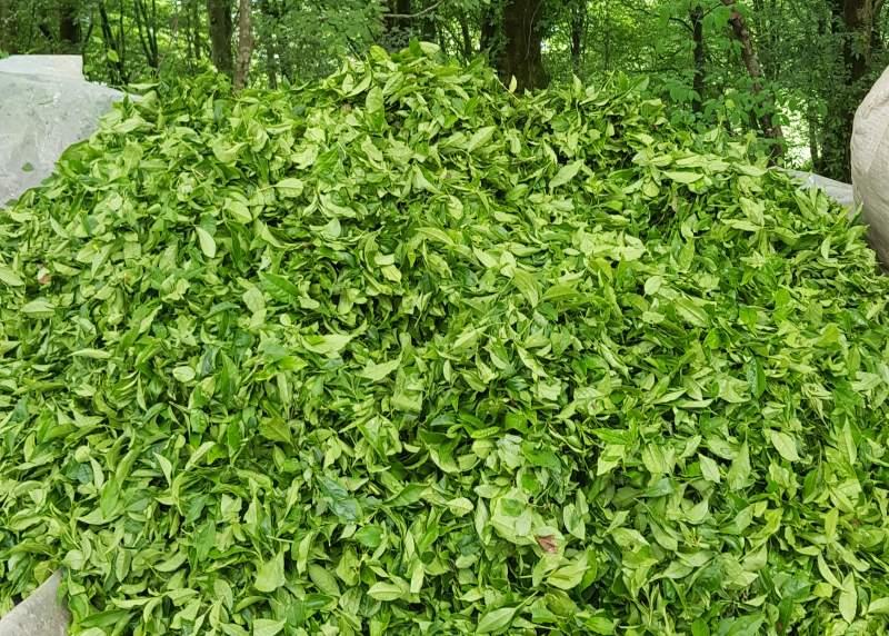 برگ سبز چای لاهیجان