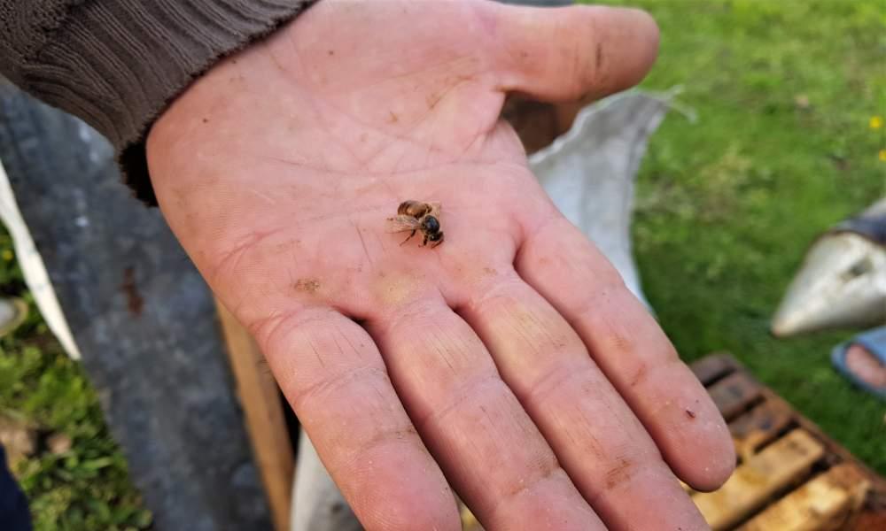 درمان کرونا با نیش زنبور