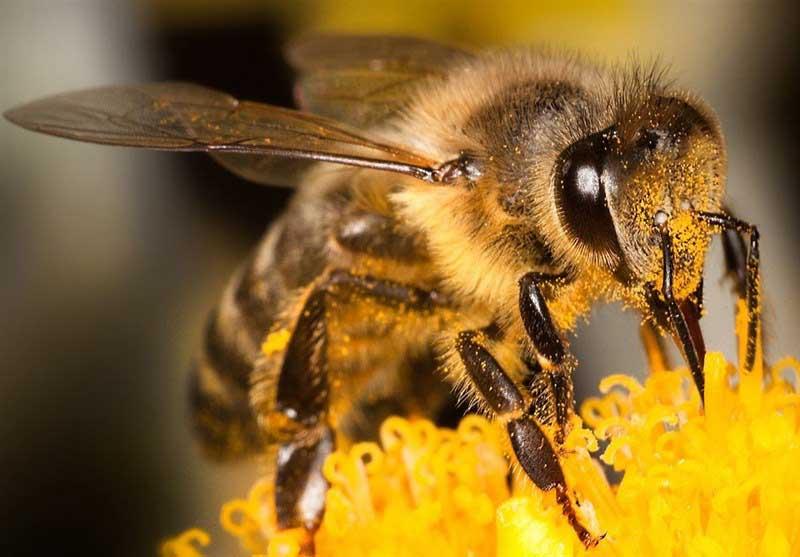 برخلاف تصور نیش زنبور برای درمان بسیاری از بیماری ها استفاده می شود.