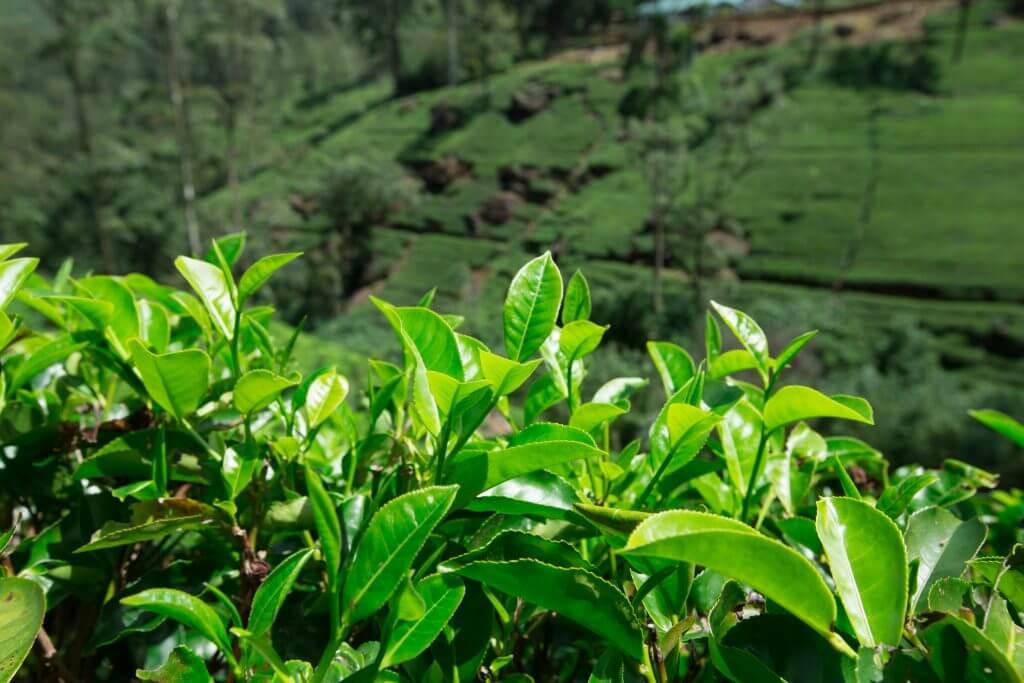 برگهای سبز چای که در زیر نور آفتاب میدرخشند.