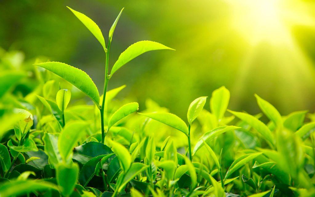 برگ های چایی که براثر تابش نور خورشید منظره جالبی را تشکیل دادهاند.