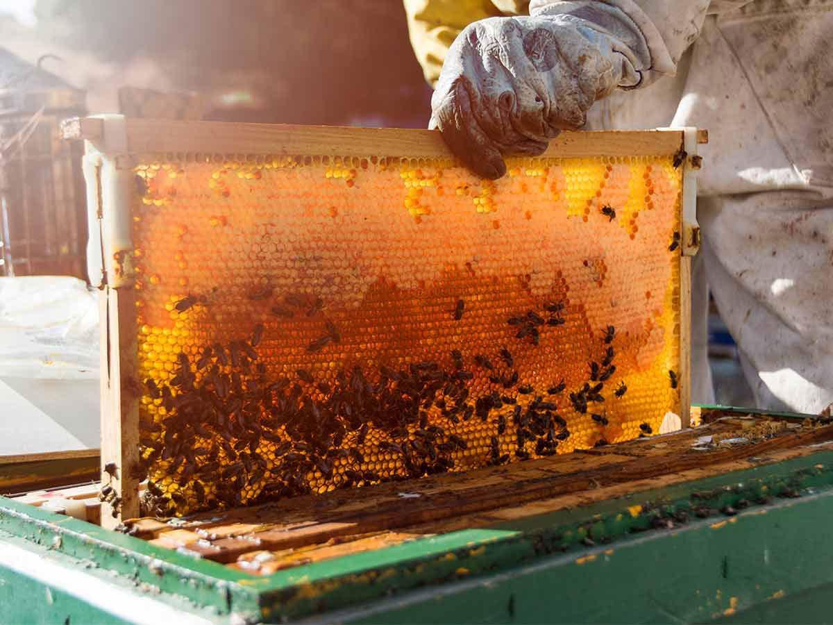 مصرف عسل گون برای کودکان زیر دو سال توصیه نمیشود.