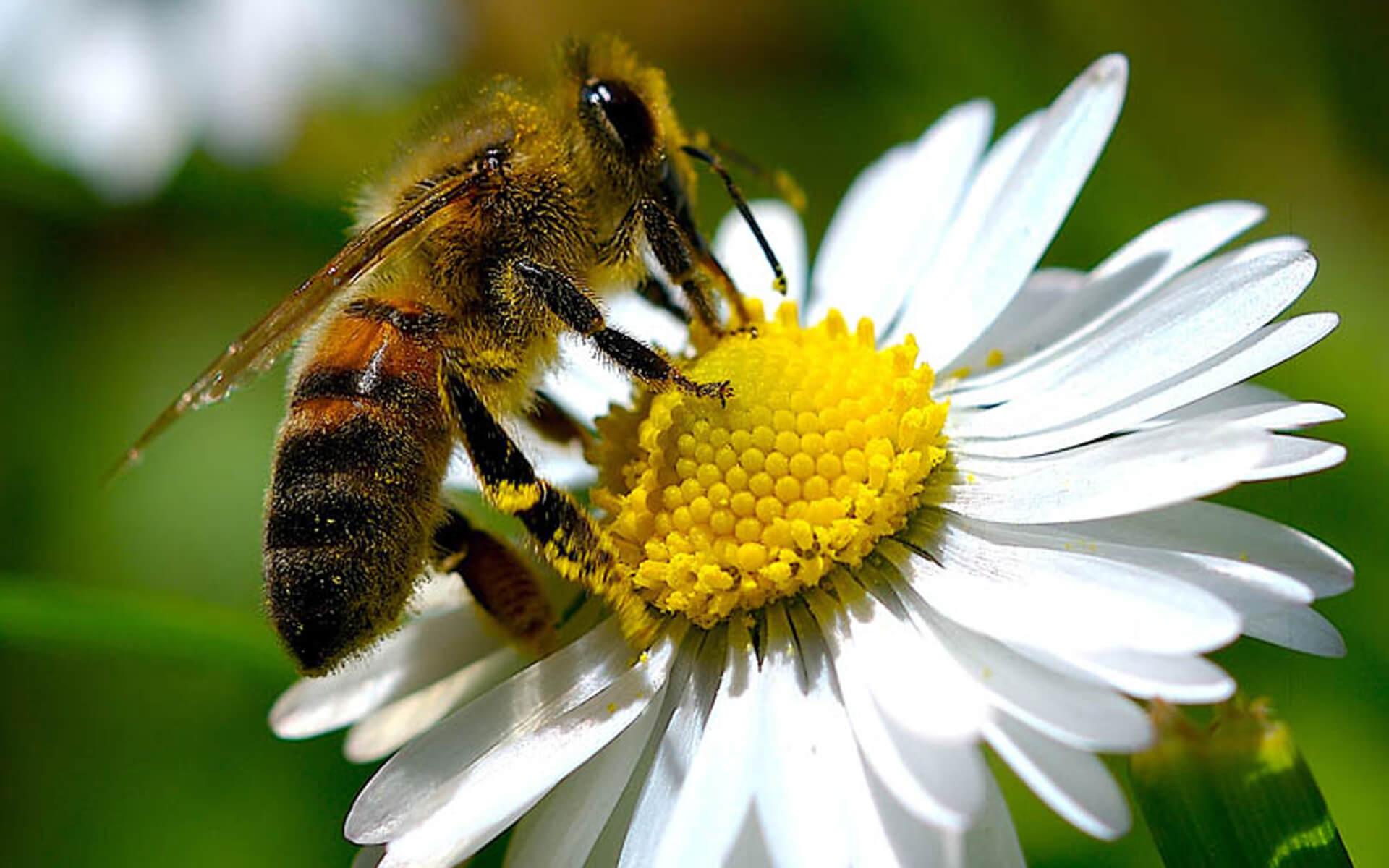 تنوع رنگ گرده گل بسته به رنگ گل و گیاهی که زنبور بر روی آن مینشیند متفاوت است.