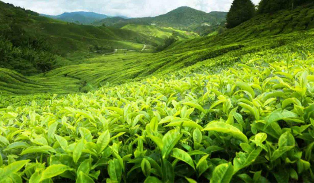چای کله مورچه ای خواص متعددی برای بدن دارد.