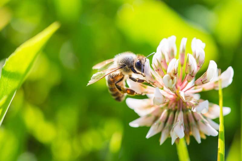 عسل کوهی ذخایر گلیکوژن مورد نیاز کبد را تامین میکند.