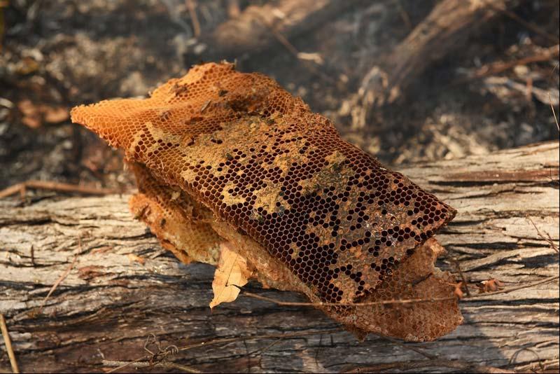 استفاده از خواص عسل وحشی بهعنوان ماده طبیعی و محصولی شگفتانگیز سبب تولید مقدار زیادی کلاژن در بدن میشود.