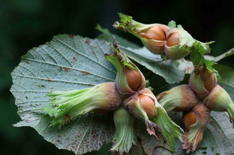 افرادی که حساسیتهای فصلی به گلها و گیاهان دارند، بیشتر مستعد حساسیت به دانههای روغنی هستند.