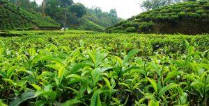 برای اولین بار حدود 5000 سال قبل بوتههای چای در کشور چین بهعنوان یک گیاه خودرو کشف شد.
