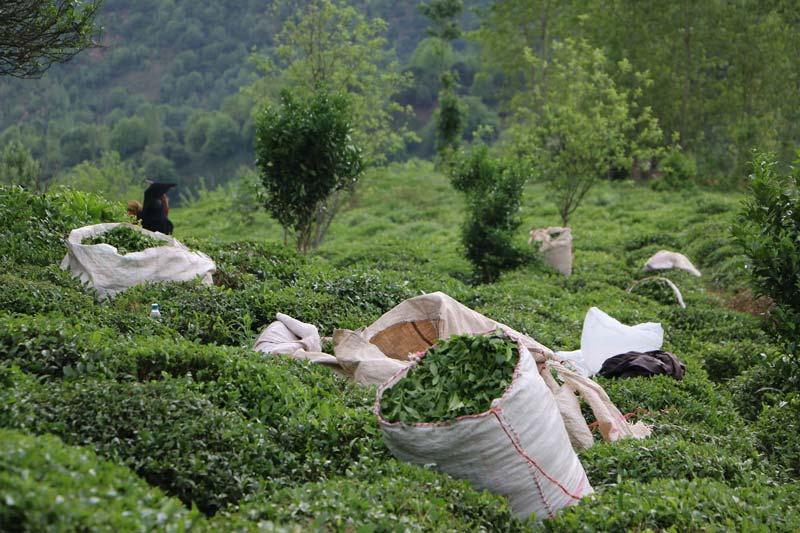 تخمیر چای مرحله مهمی از تولید و فرآوری این نوشیدنی به شمار میرود.