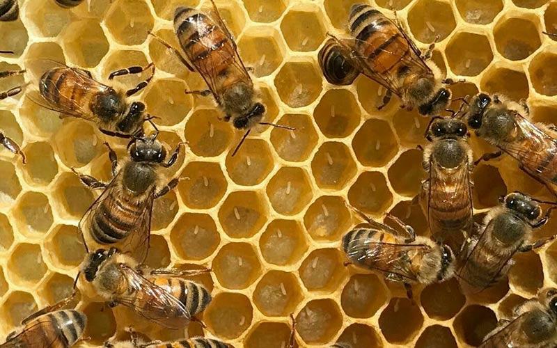 فرق عسل خام با عسل پاستوریزه در فرایند عرضه آن به بازار است.