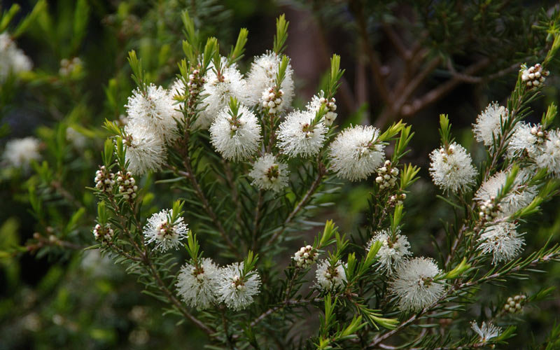 روغن درخت چای برای درمان بیماریهای پوستی مفید است.