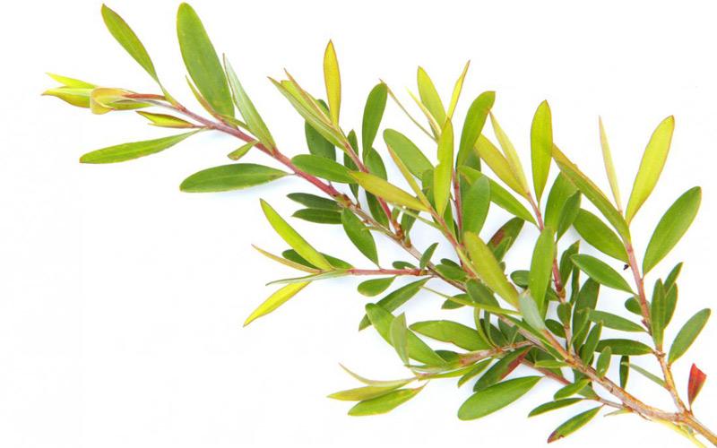 روغن درخت چای برای ماساژ پوست استفاده می شود.