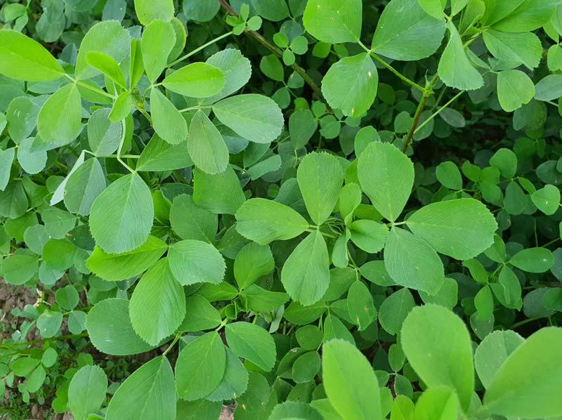 گیاه یونجه پروتئین بالایی دارد و فعالیتهای پروبیوتیکی رو افزایش میدهد.